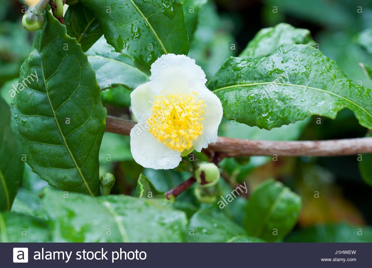 Camellia sinensis stock photos camellia sinensis stock - Camelia fotos ...