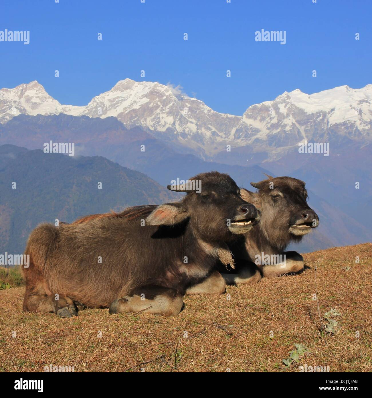 bison chat Chat about d20pfsrdcom read  the bison's statistics can be used for almost any larger herd animal, such as the buffalo bison frighten far less easily than .