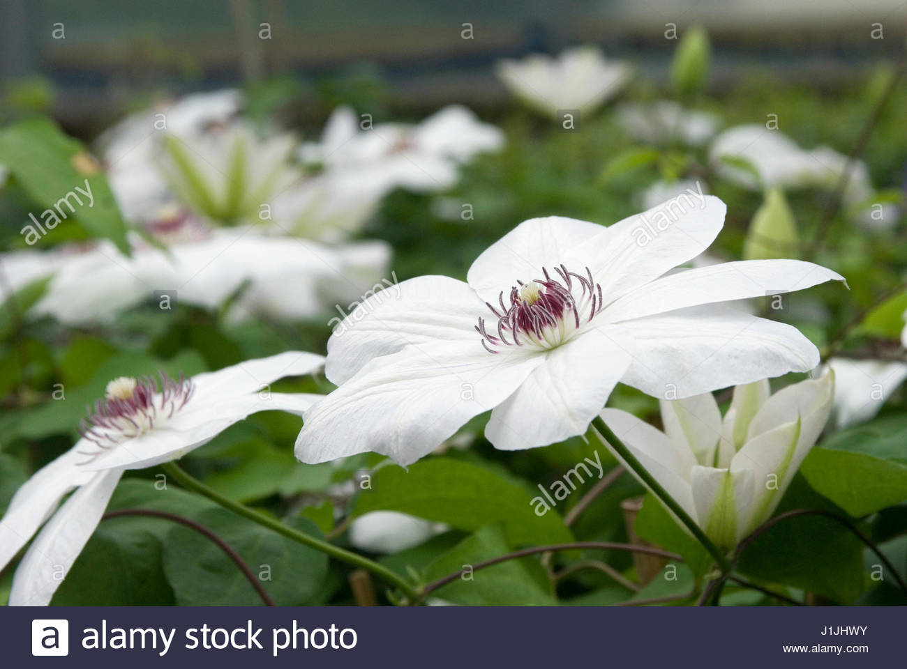 clematis miss bateman stock photos clematis miss bateman stock images alamy. Black Bedroom Furniture Sets. Home Design Ideas