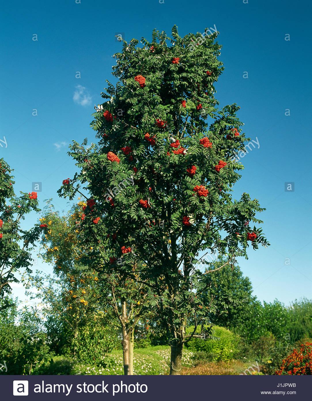 sorbus aucuparia tree stock photos sorbus aucuparia tree. Black Bedroom Furniture Sets. Home Design Ideas
