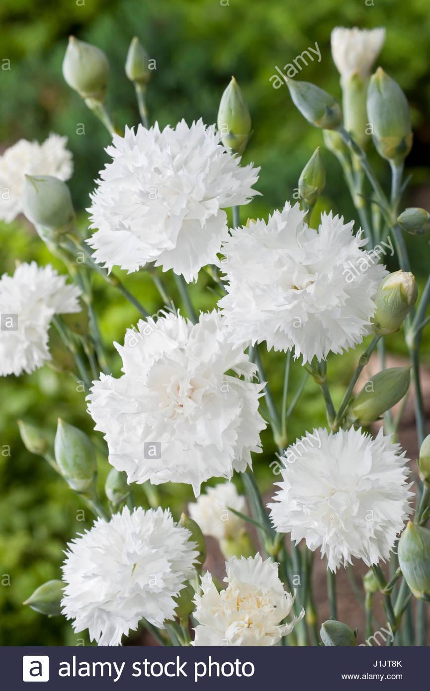Dianthus Plumarius Stock Photos & Dianthus Plumarius Stock ...