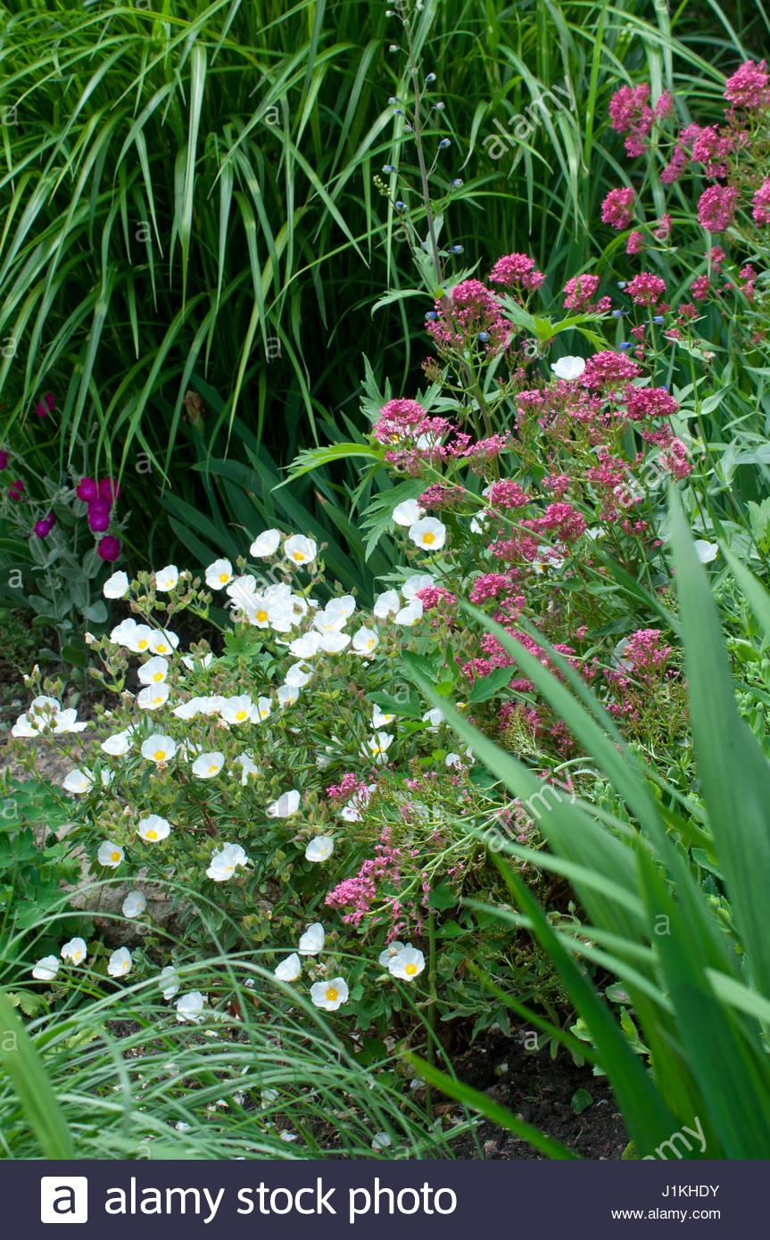 Plante vivace stock photos plante vivace stock images alamy - Fleurs de jardin vivaces ...