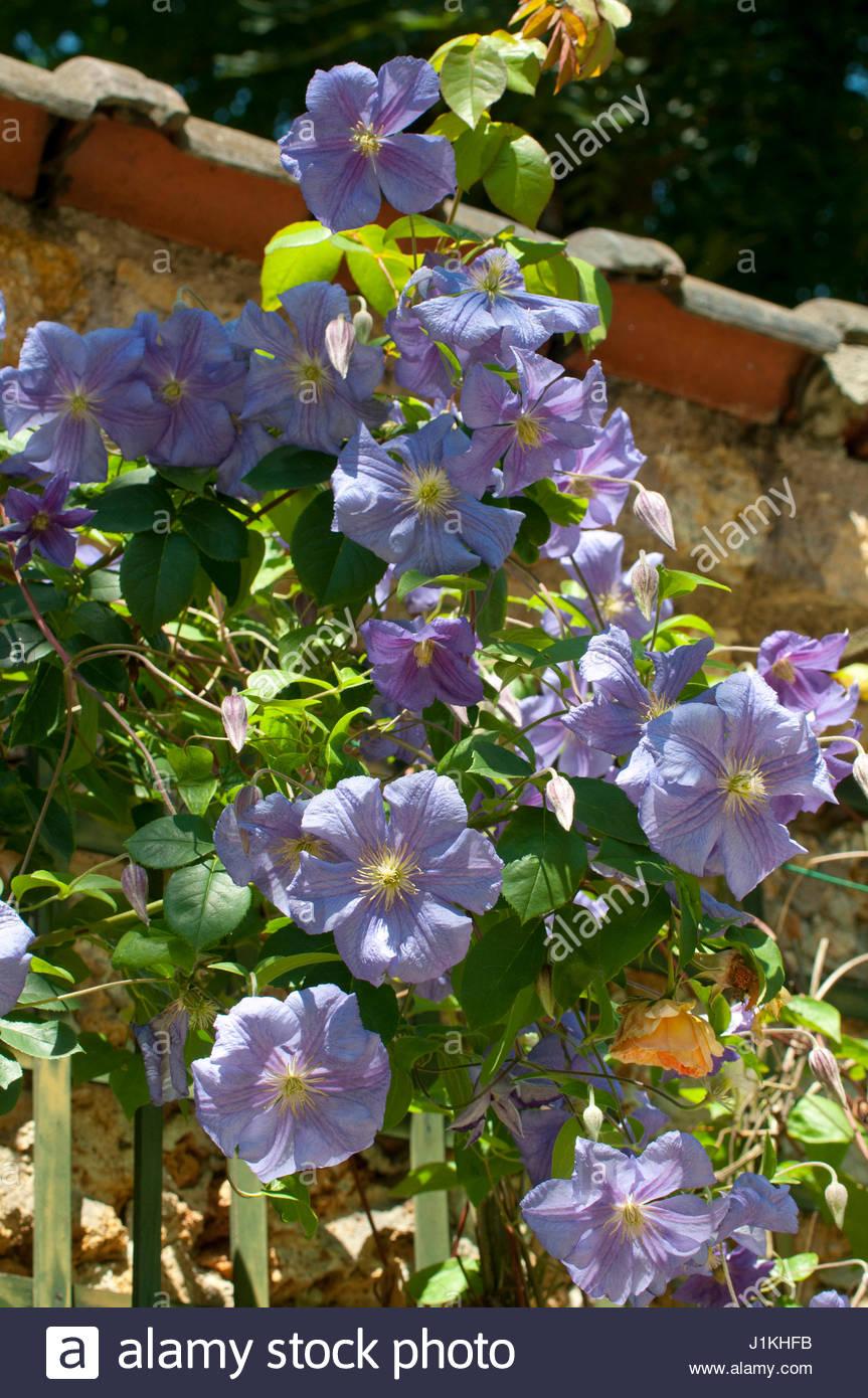 Plante grimpante stock photos plante grimpante stock for Fleurs dans un jardin