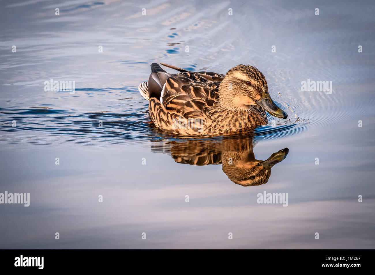 Urban birding stock photos urban birding stock images for Duck pond water