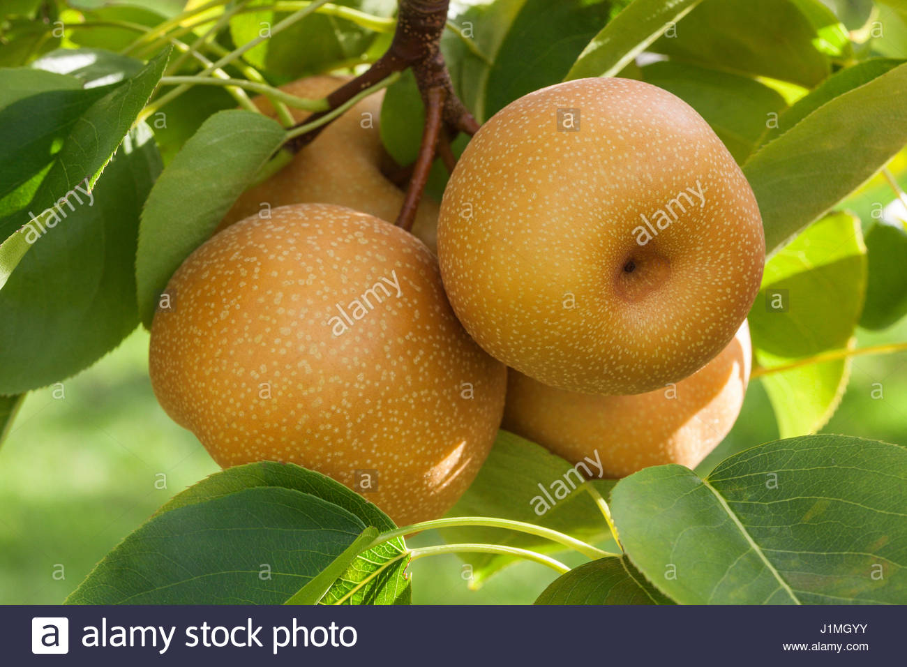 Shinko asian pear edible landscaping - Pyrus Pyrifolia Asian Pear Nitaka On Tree Stock Image