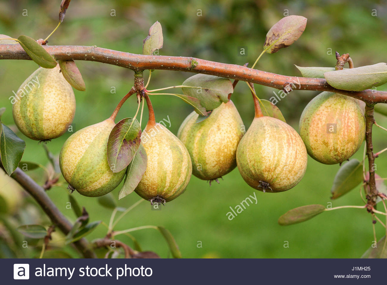 Shinko asian pear edible landscaping - Pyrus Pyrifolia Asian Pear Pysanka On Tree Stock Image