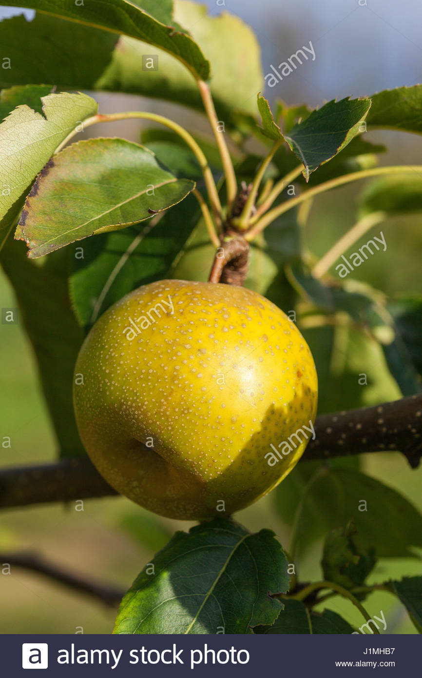 Shinko asian pear edible landscaping - Pyrus Pyrifolia Asian Pear L8 On Tree Stock Image