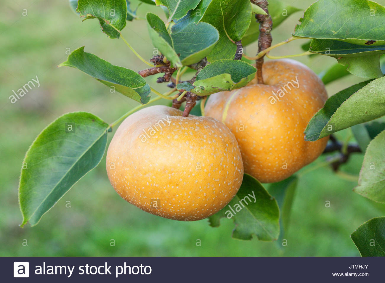 Shinko asian pear edible landscaping - Pyrus Pyrifolia Asian Pear Eiko On Tree Stock Image