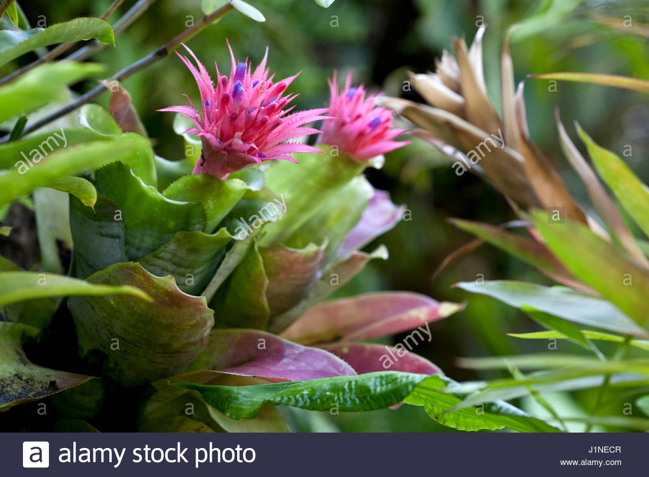 Aechmea stock photos aechmea stock images alamy for Aechmea fasciata