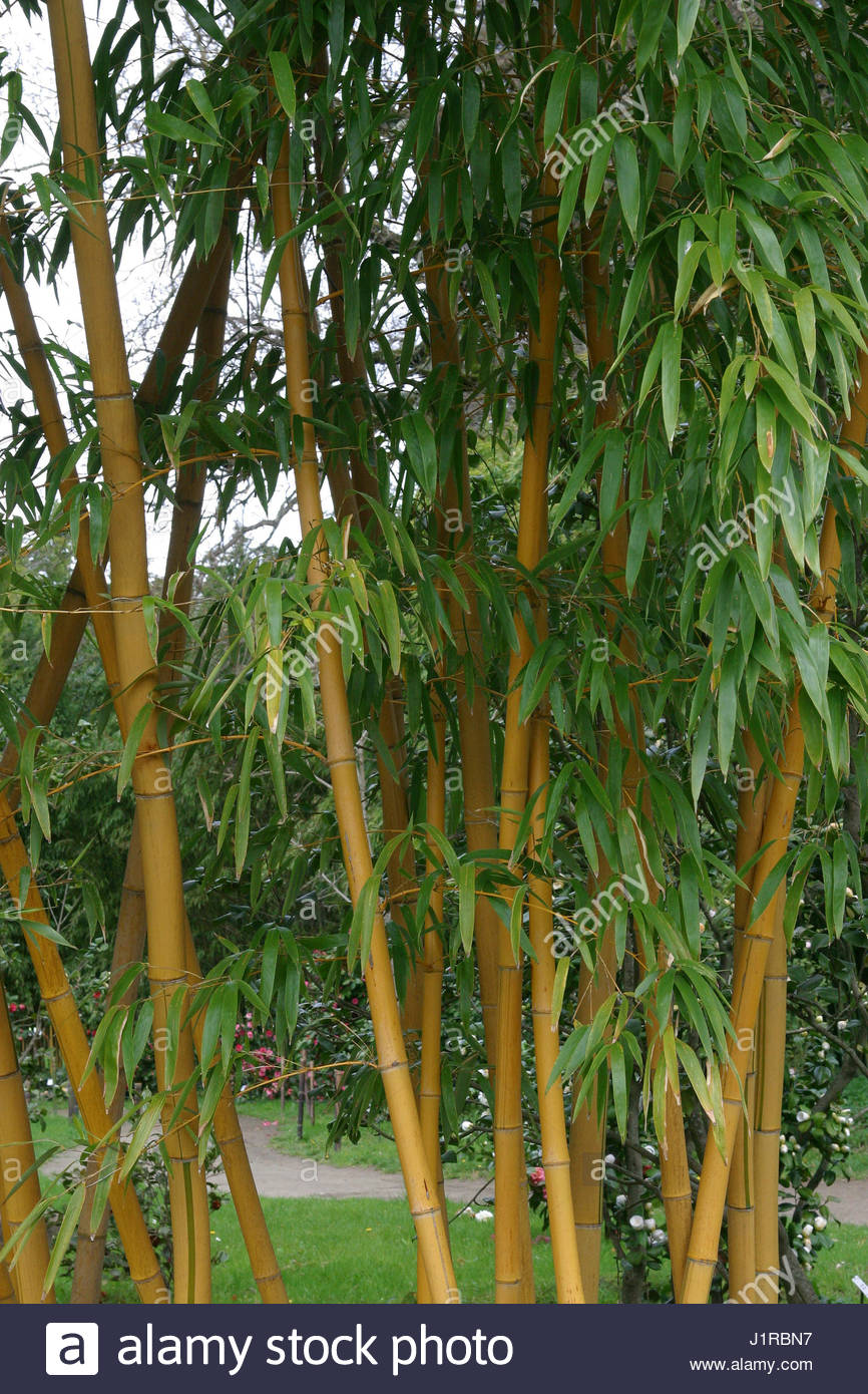 phyllostachys vivax aureocaulis stock photos. Black Bedroom Furniture Sets. Home Design Ideas