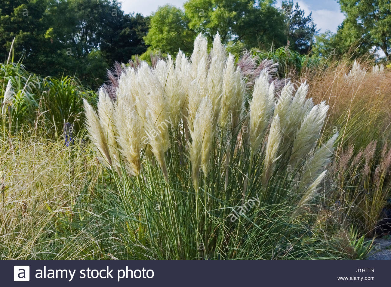 cortaderia selloana pumila stock photos cortaderia. Black Bedroom Furniture Sets. Home Design Ideas