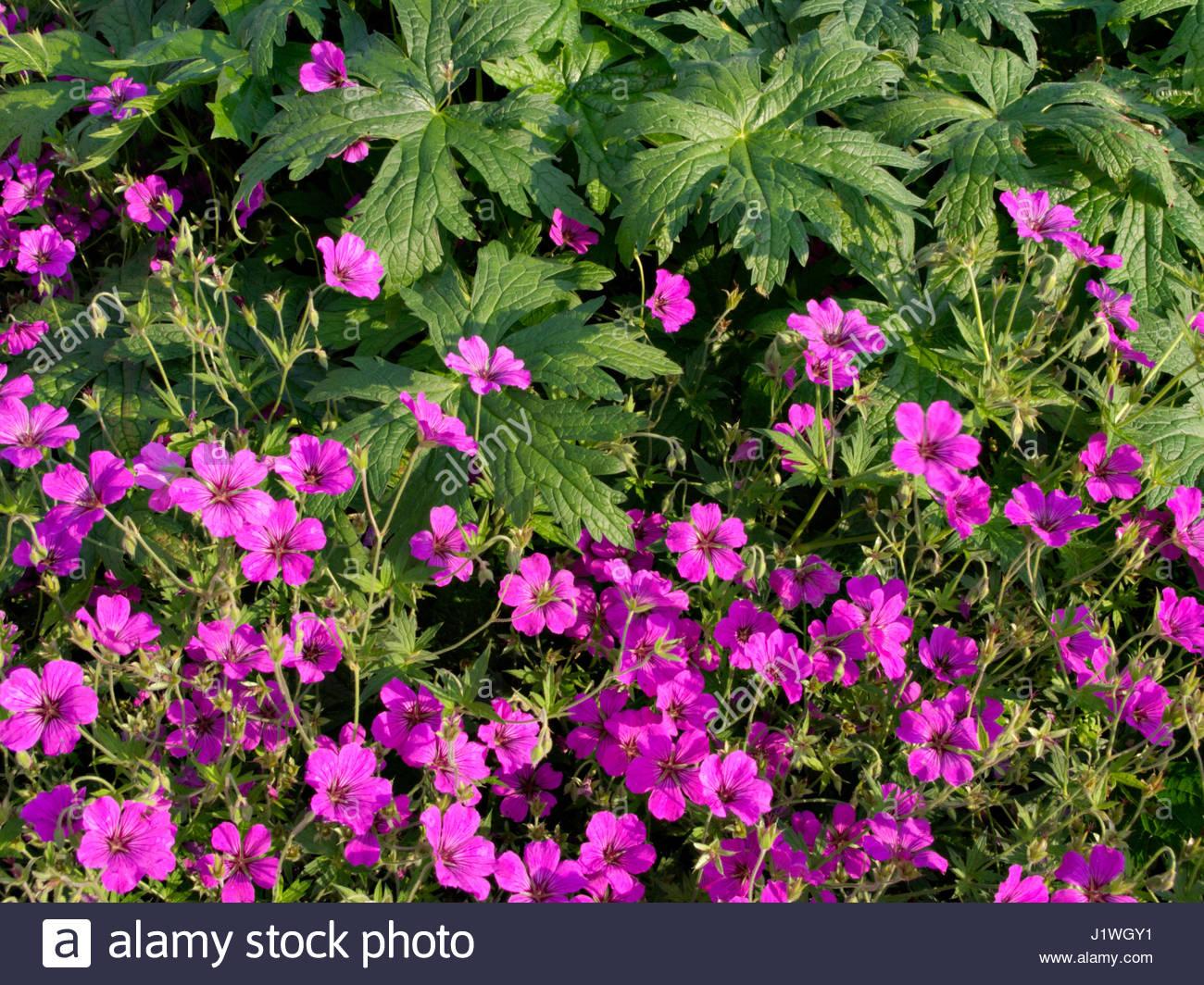 geranium sanguineum striatum stock photos geranium. Black Bedroom Furniture Sets. Home Design Ideas