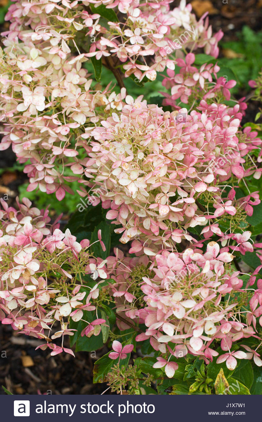 hydrangea paniculata grandiflora stock photos hydrangea. Black Bedroom Furniture Sets. Home Design Ideas