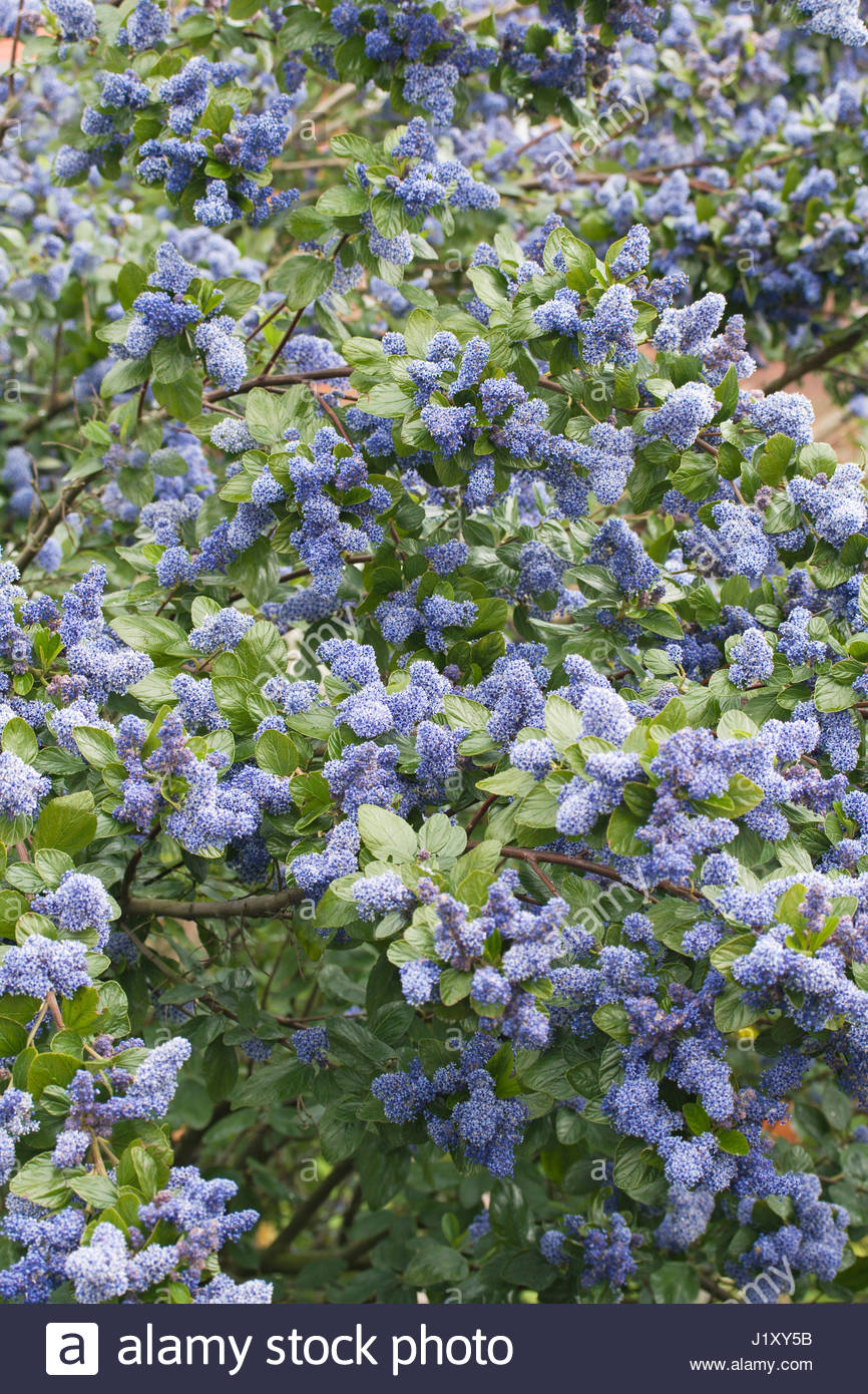 ceanothus trewithen blue stock photos ceanothus. Black Bedroom Furniture Sets. Home Design Ideas