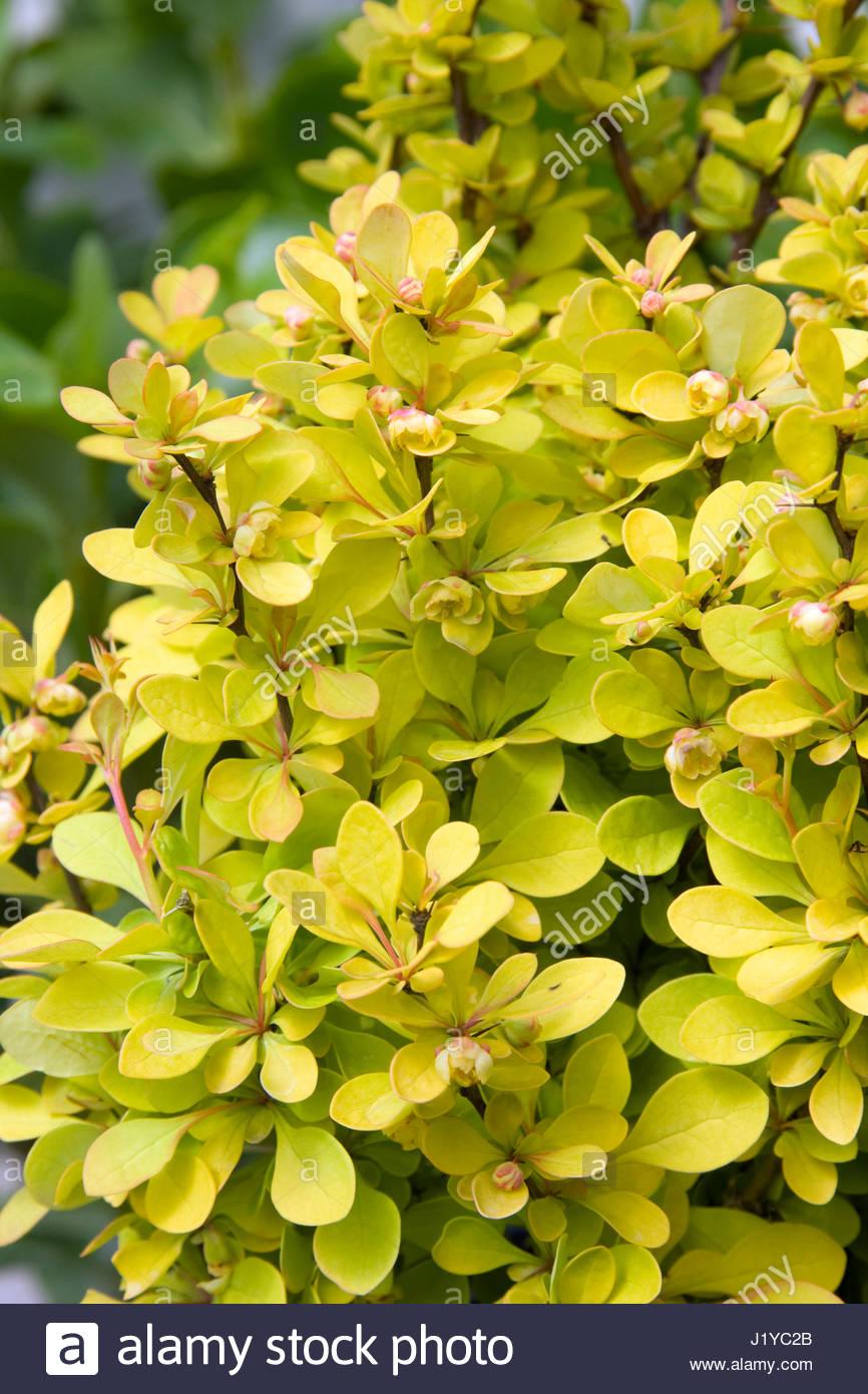 Berberis Thunbergii Atropurpurea Crimson Pygmy Berberis Thunbergii St...