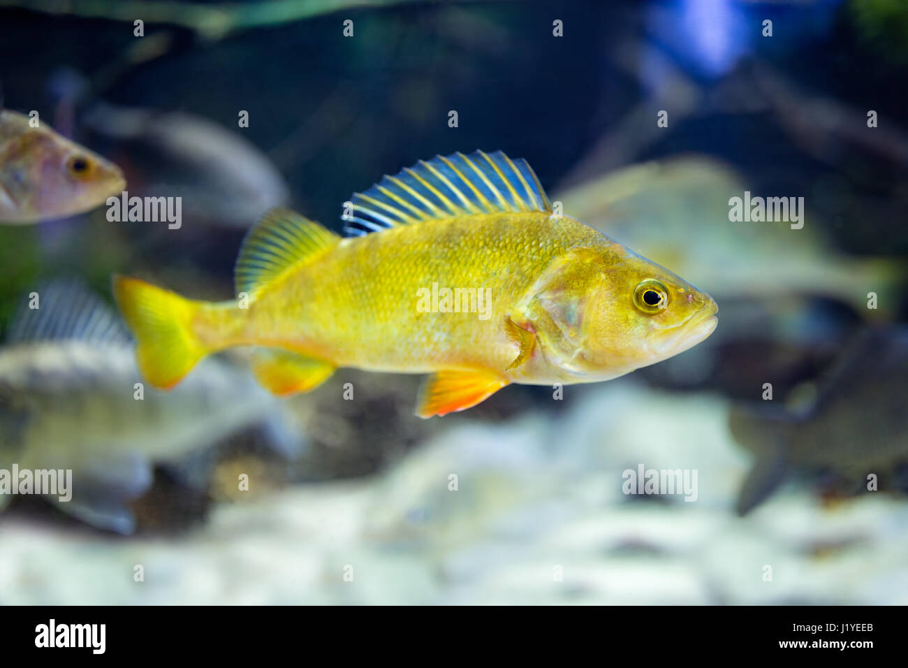Aquarium gravel stock photos aquarium gravel stock for Cute freshwater fish