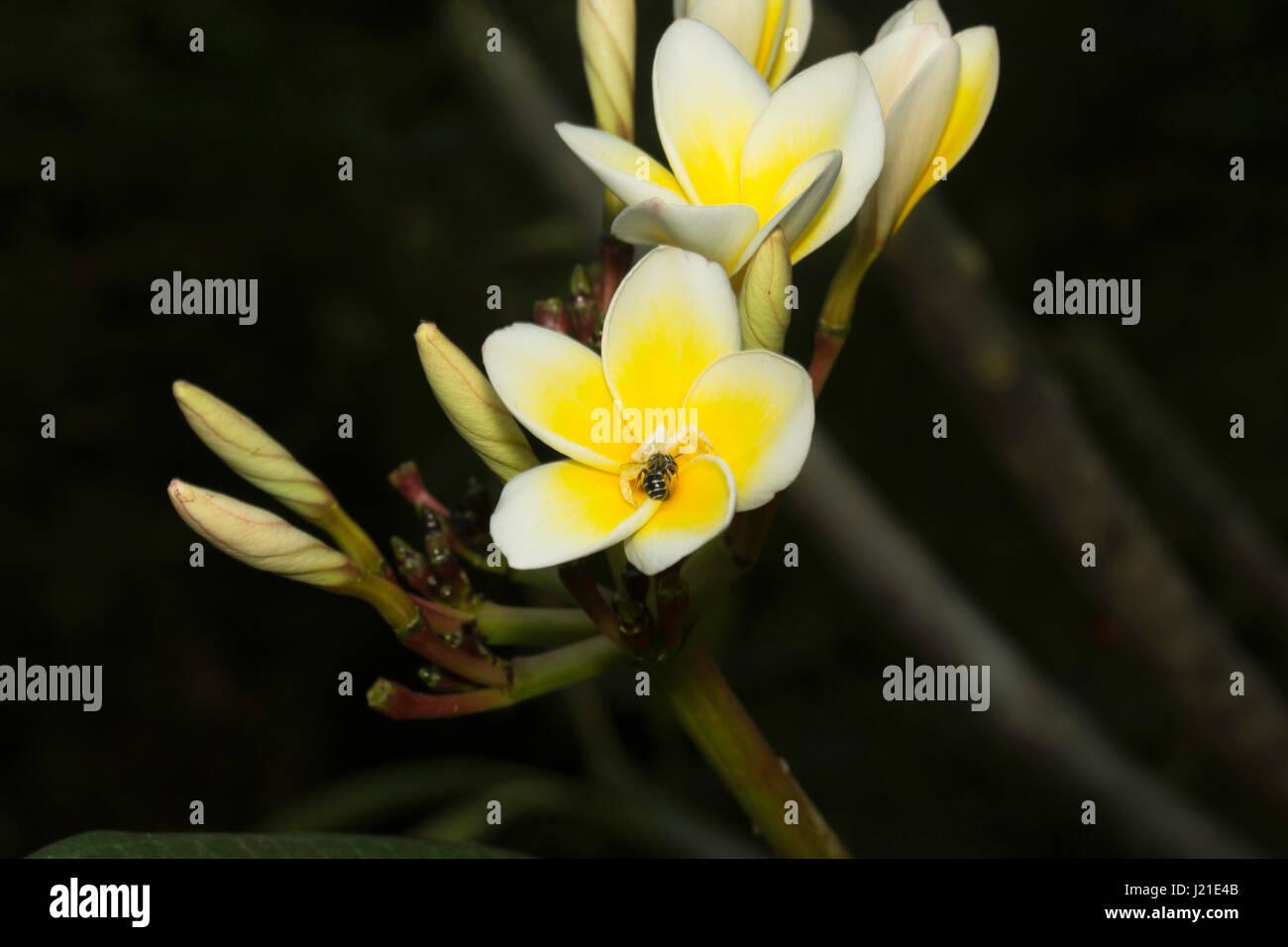 Crab spider preying bumble bee garden spiders spiders flower spiders - Crab Spider With Kill On Champa Flower Aarey Milk Colony India Stock