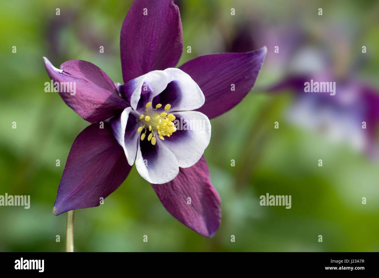 Grannys in flower aquilegia vulgaris stock photos grannys in close upmacro image of a spring flowering purple aquilegia vulgaris flower also dhlflorist Gallery