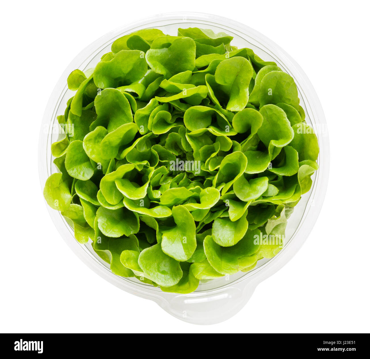 Growing lettuce in a pot - Salanova Lettuce Growing In Plastic Pot To Allow Individual Leaves To Be Picked Stock Image