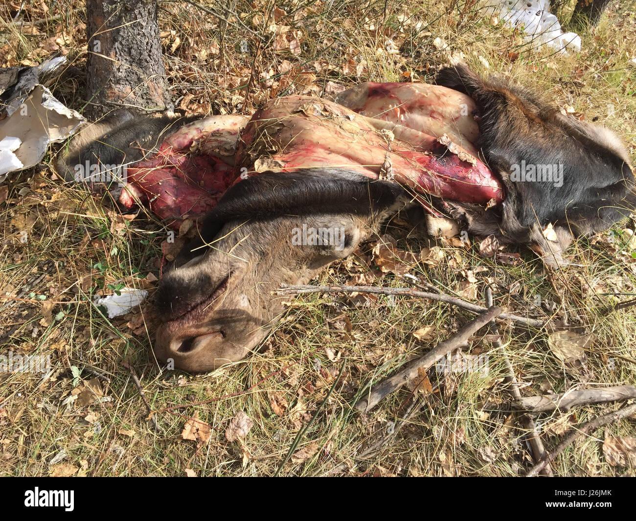 dead moose stock photos u0026 dead moose stock images alamy