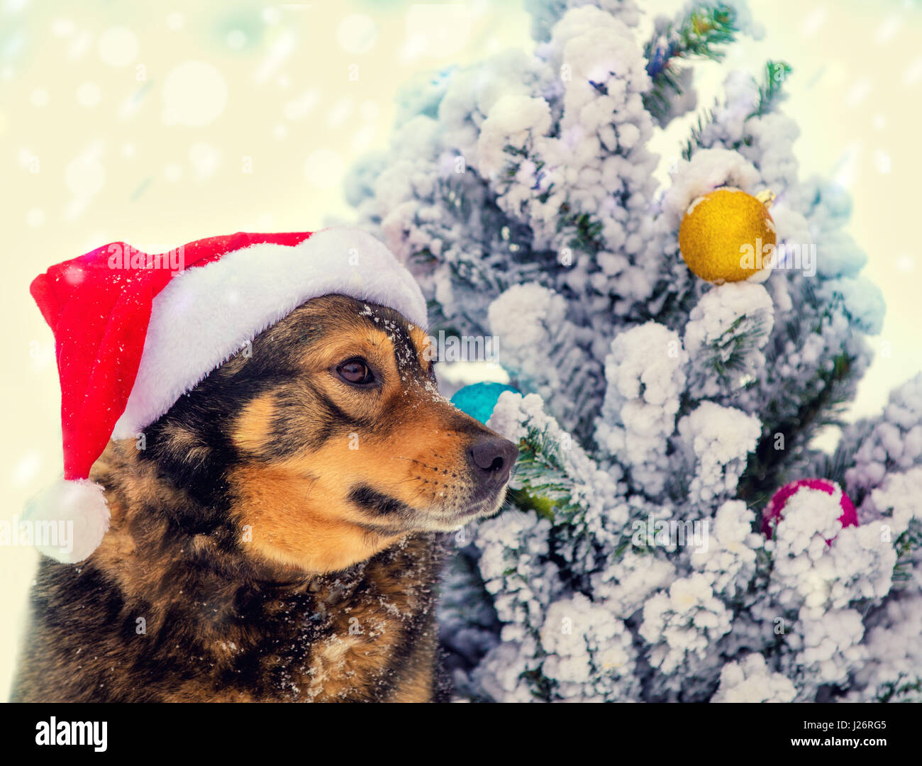 Fox with a hat new year or christmas animal isolated on white - Dog Wearing Santa Hat Outdoor Near Fir Tree Christmas Concept Stock Image