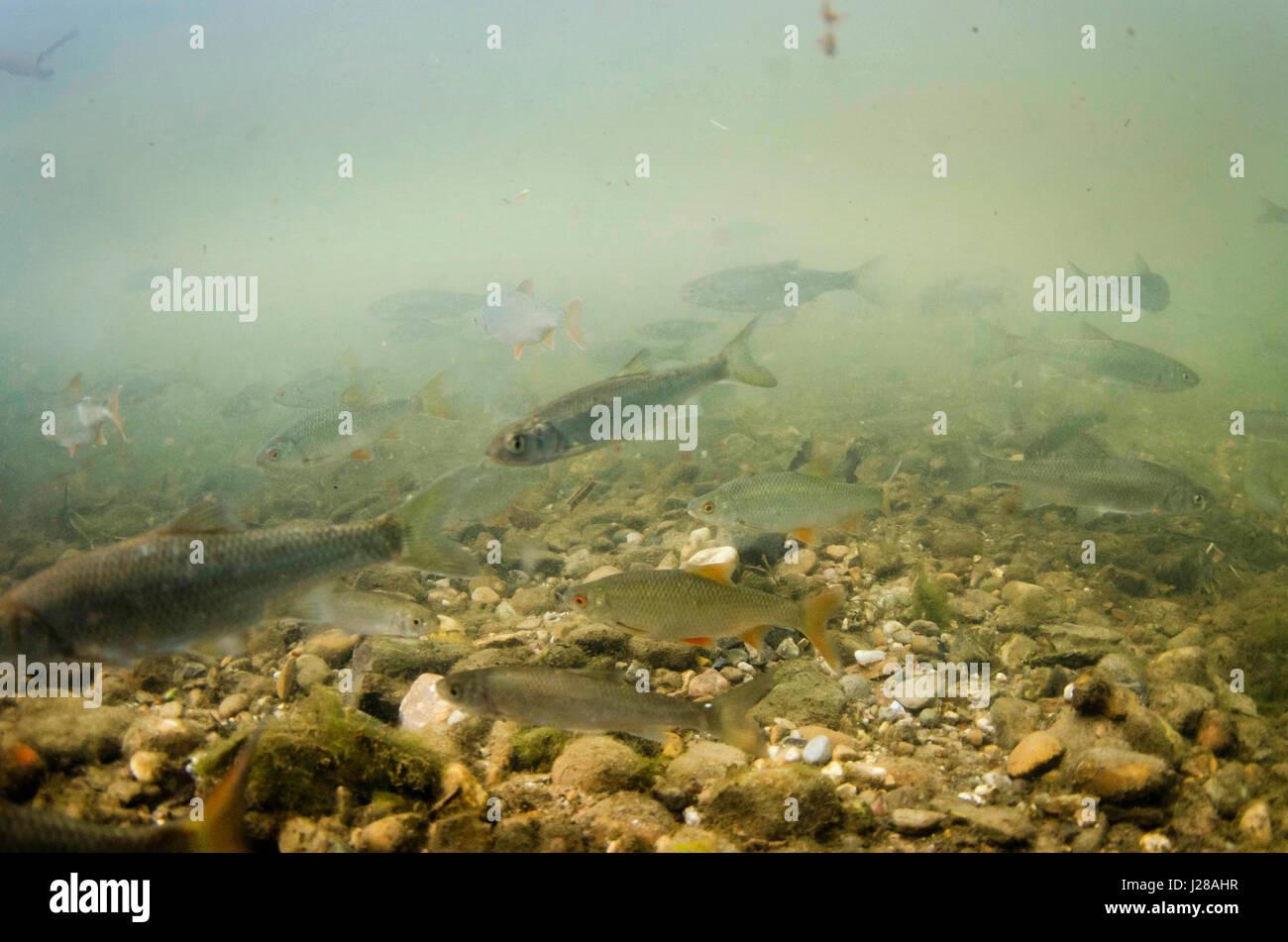 Freshwater fish dace - Shoal Of Roach Dace Stock Image