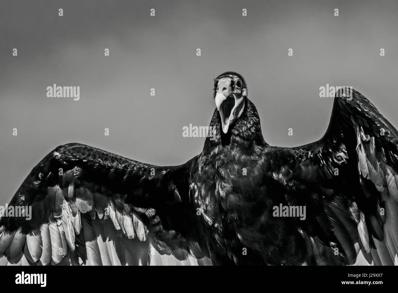 Black vulture wings and beak open in black and white