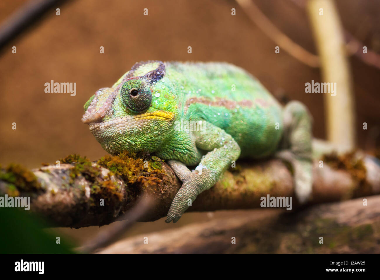 25 amazing chameleon pictures - Close Up Portrait Of A Panther Chameleon Furcifer Pardalis Stock Image