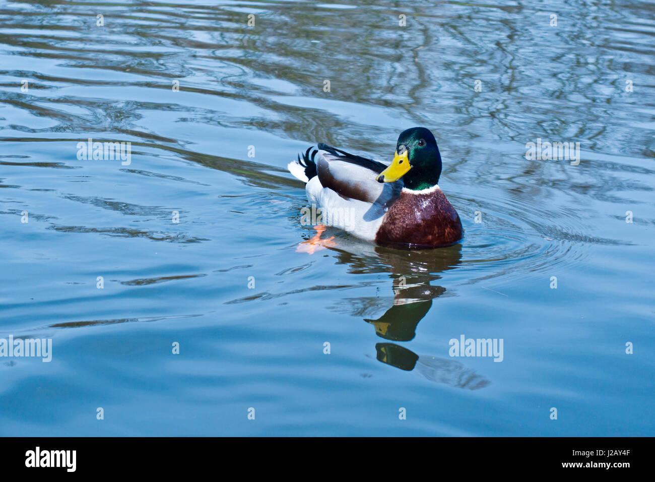 mallard duck swimming stock photos u0026 mallard duck swimming stock