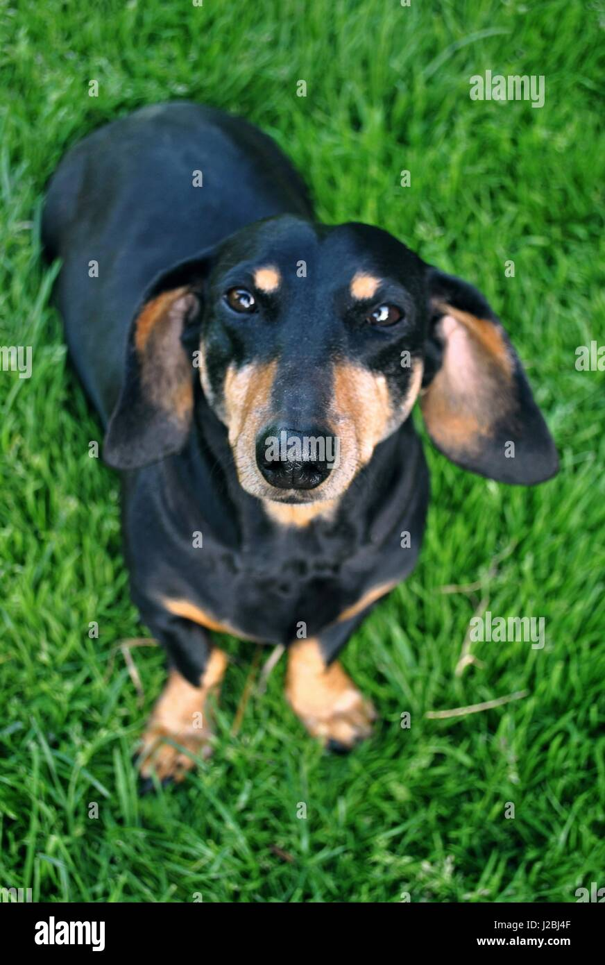 Brown And Black Living Room Decorating Ideas: Black And Brown Dachshund Stock Photos & Black And Brown