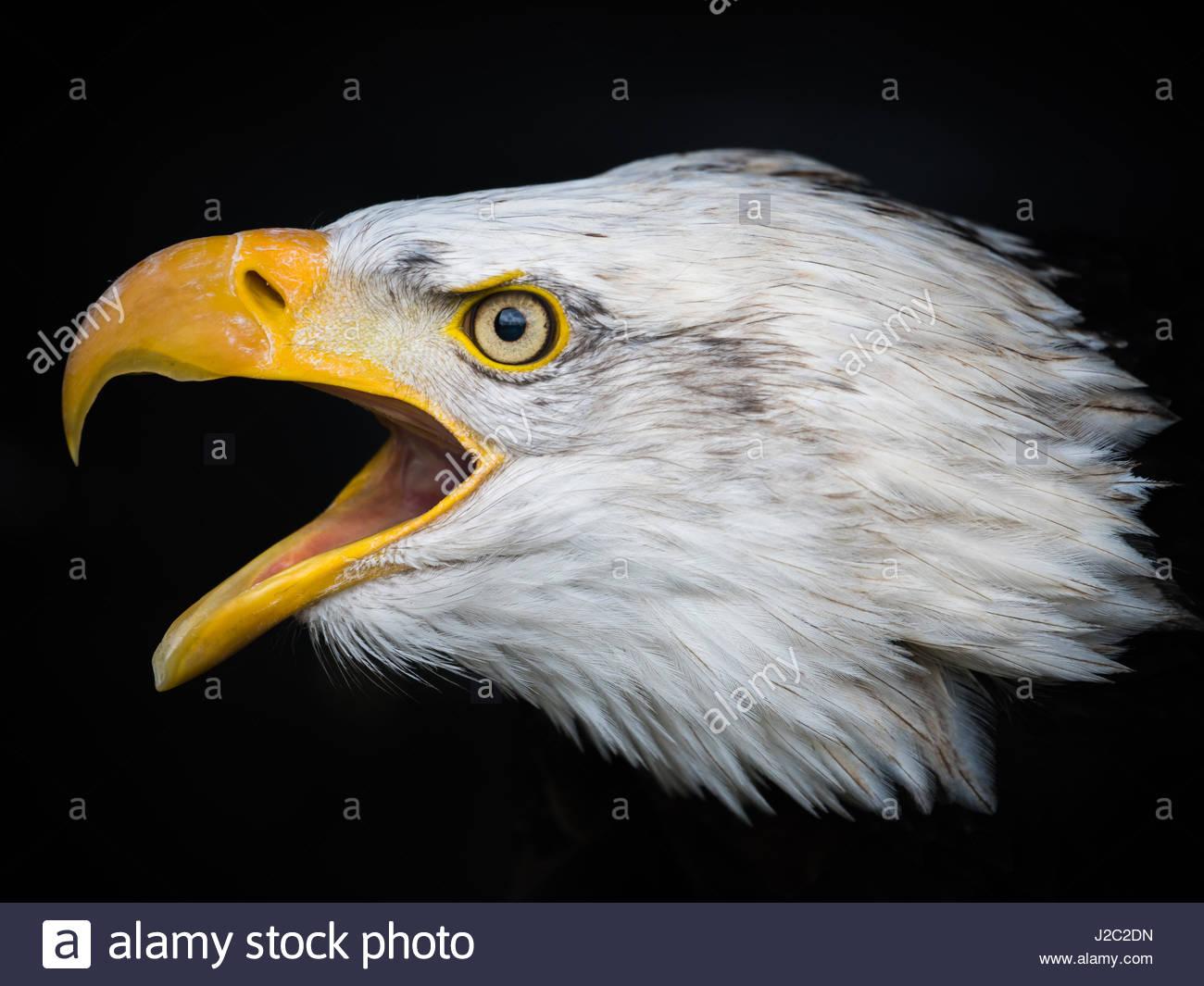 Eagle beak - photo#48