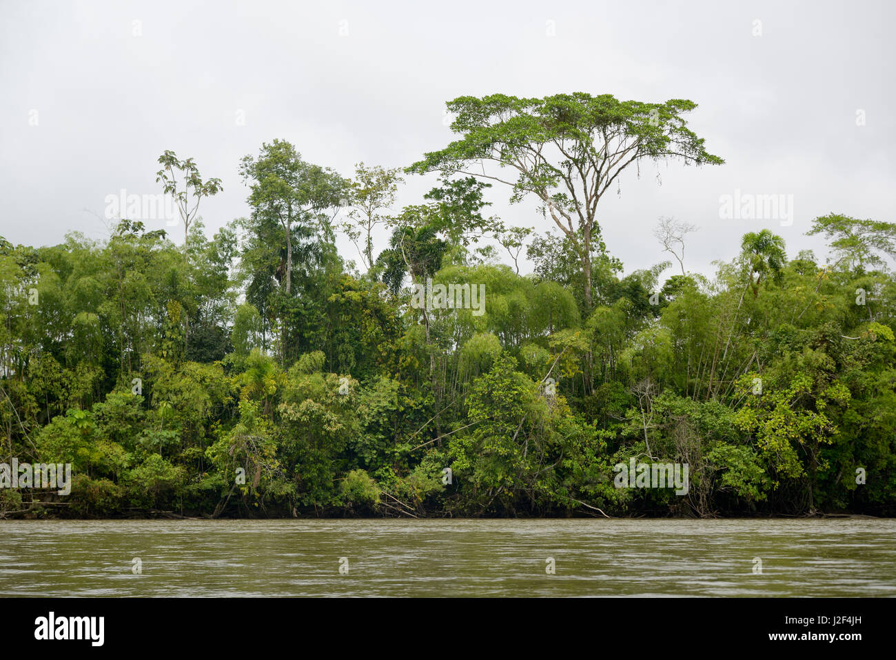 Landscapes along the south bank - Jungle Trees Along The Bank Of The Rio Napo