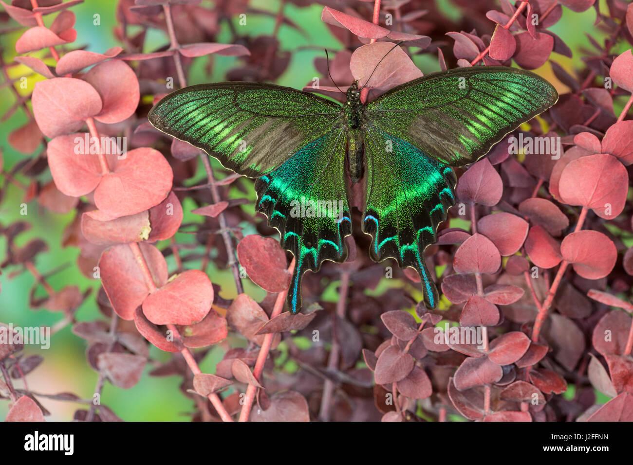 swallowtail Alpine butterfly black