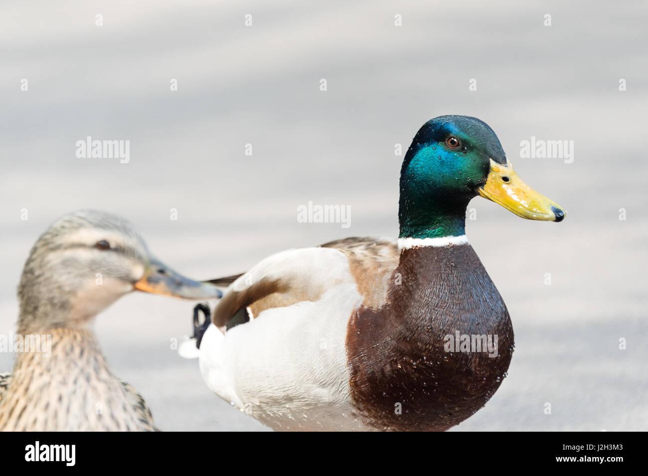 two mallard ducks male female stock photos u0026 two mallard ducks