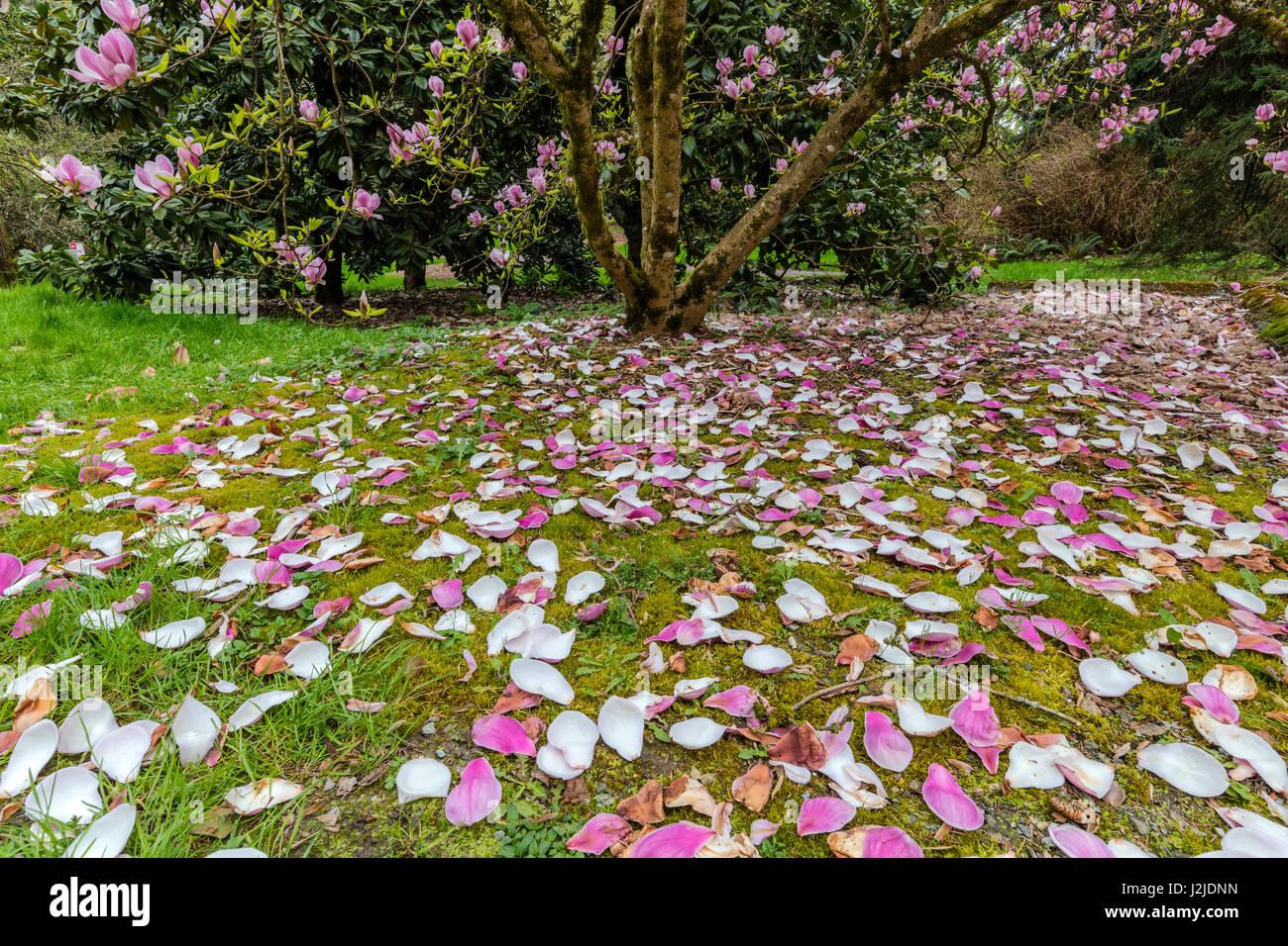 Magnolia Trees Flowering In Spring At The Arboretum In Seattle Stock