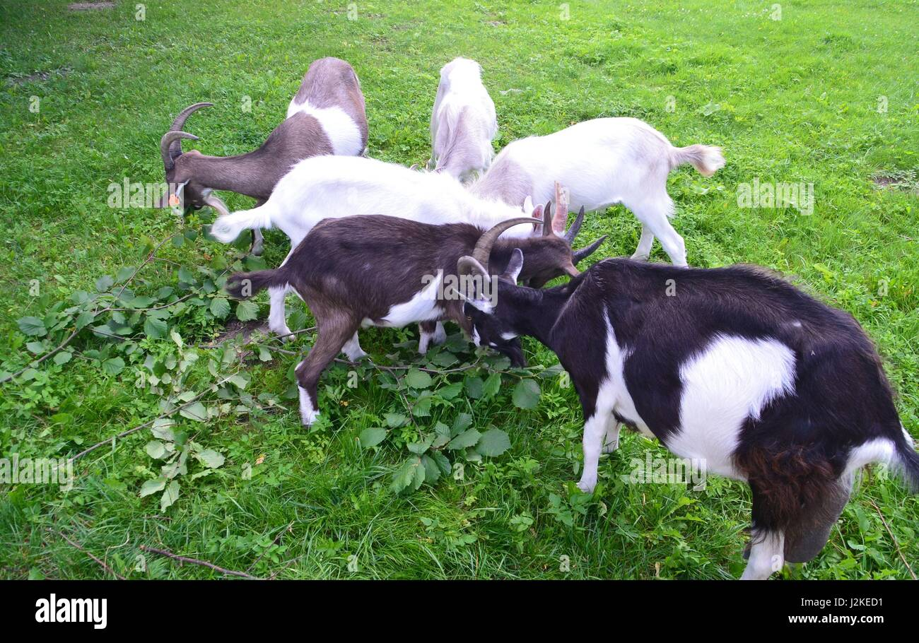 Ibex boer goat cross