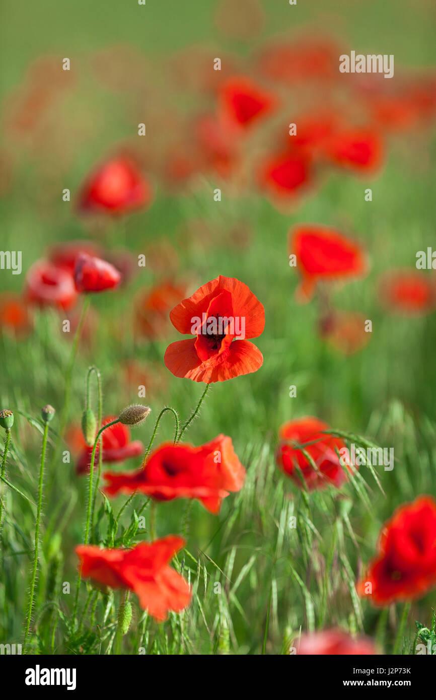 close up fresh opium poppy red stock photos u0026 close up fresh opium