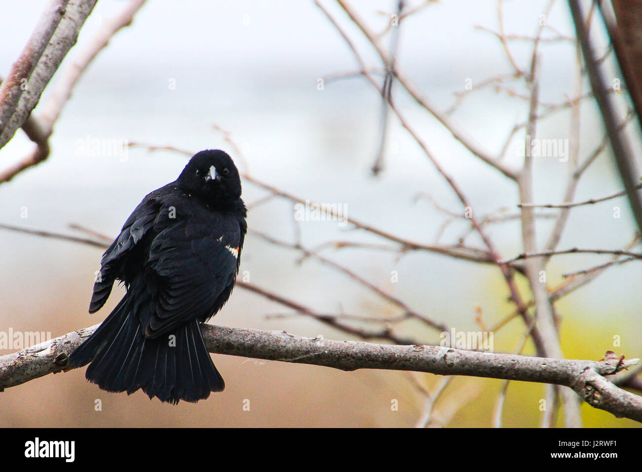 how to catch a hurt red wing blackbird