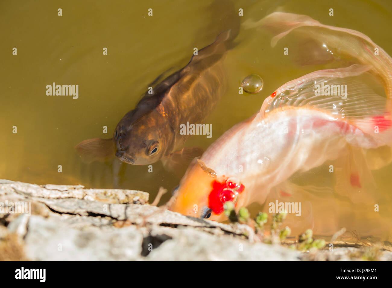 Koi fish in pond stock photos koi fish in pond stock for Decorative carp
