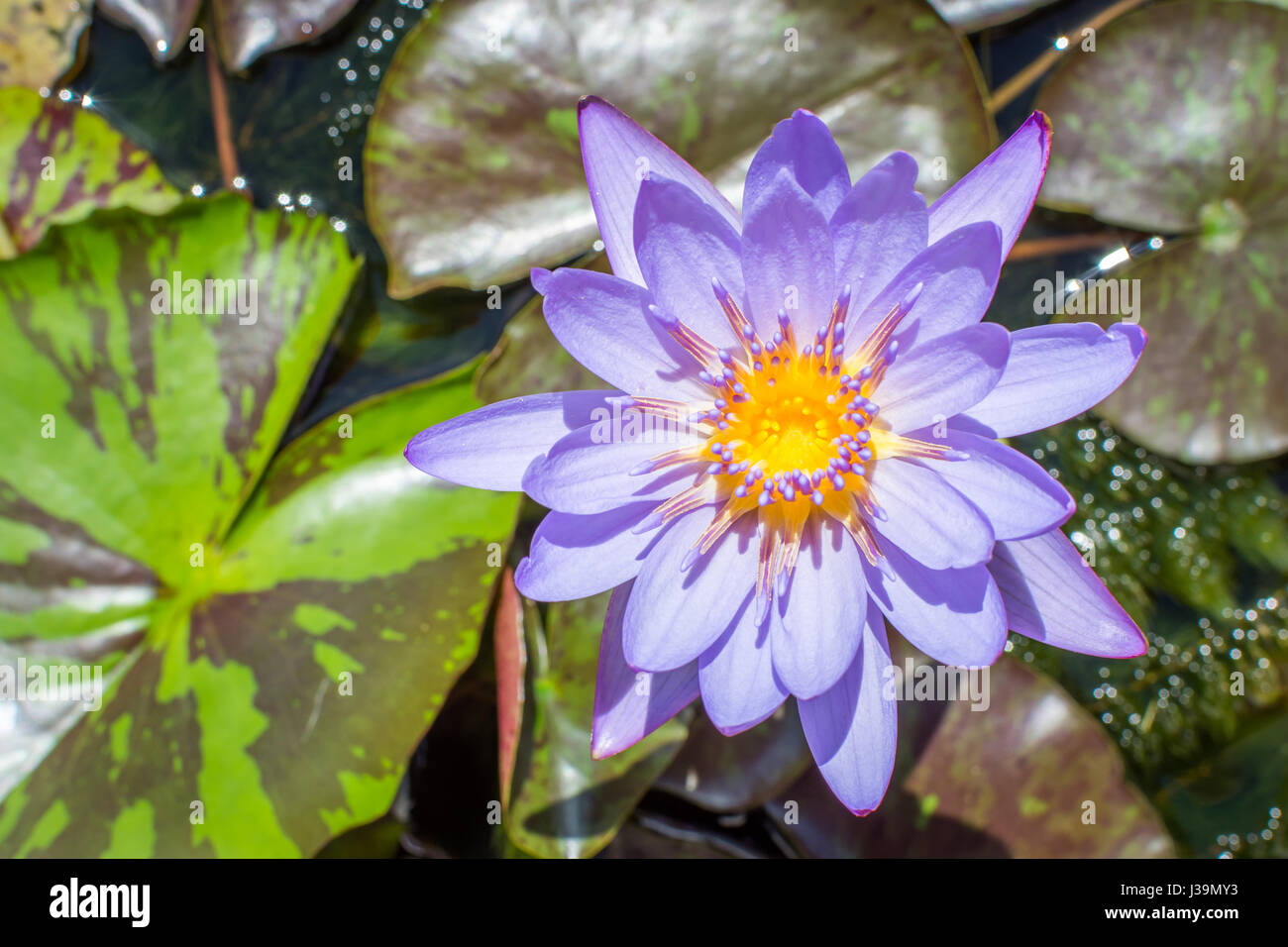 Egyptian lotus flower stock photos egyptian lotus flower stock a blue lotus also known as the blue egyptian lotus sprouting from lily pads dhlflorist Images