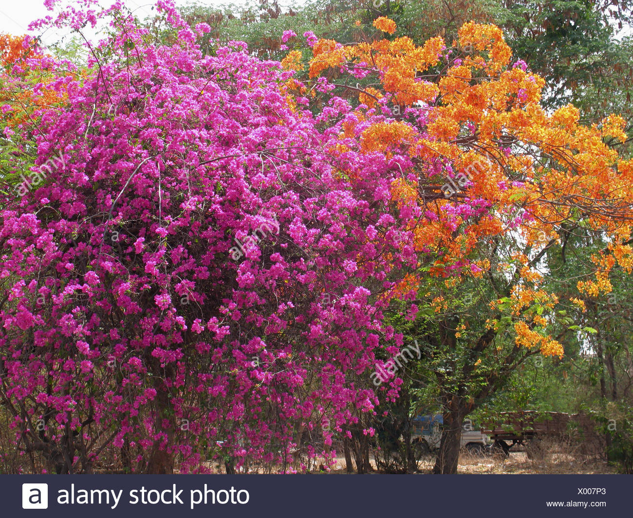 Bougainvillea Family Nyctaginaceae Shrubs Tropicaltender
