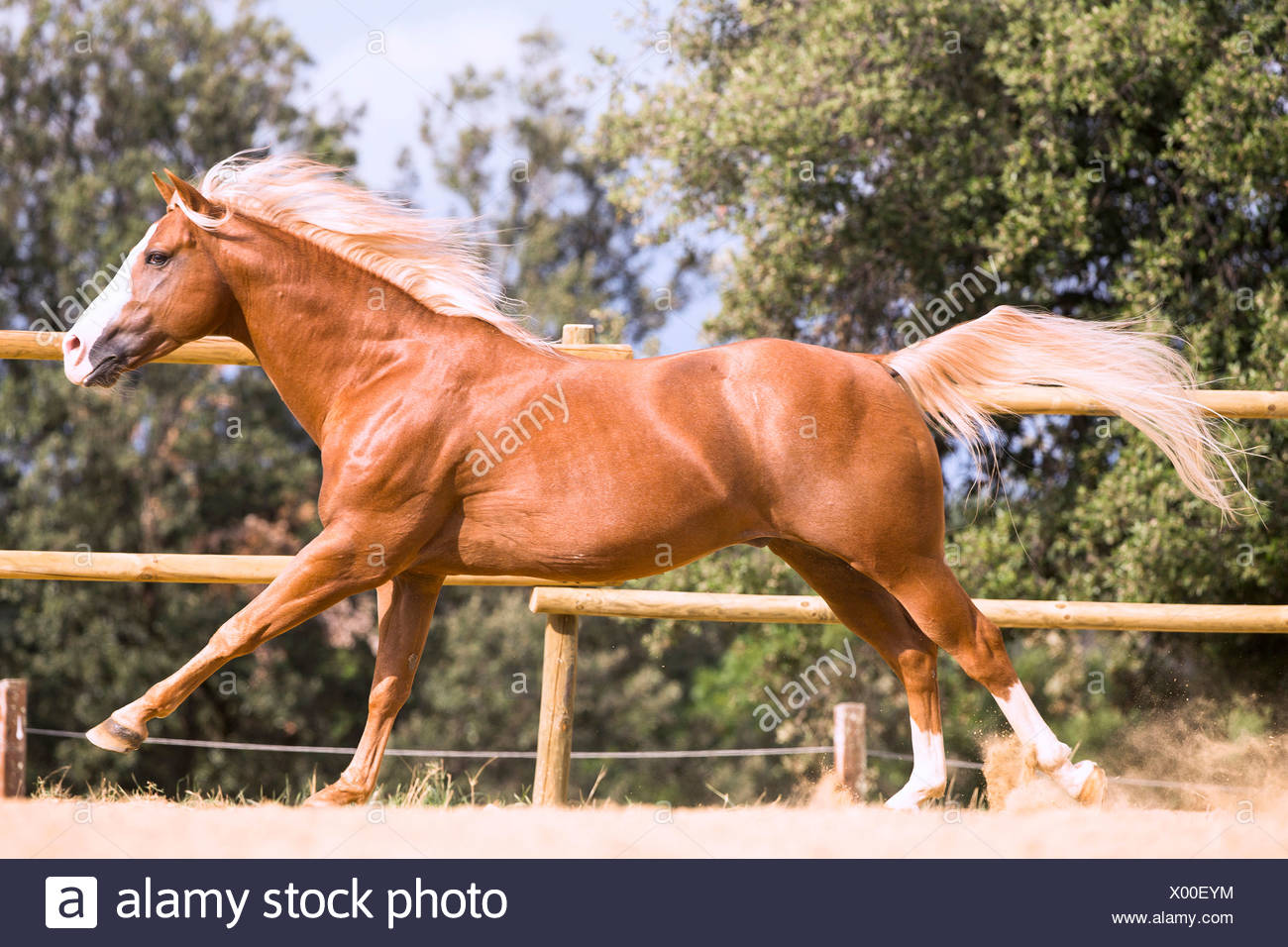 Paint Horse Chestnut Stallion Galloping In A Paddock Italy Stock