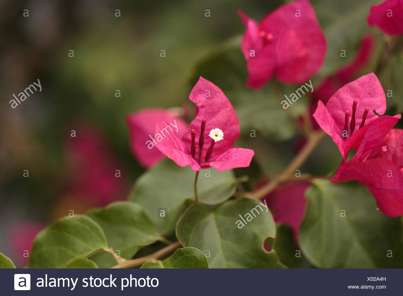 Pink Flowers On A Bougainvillea Bush Vine Grows And Is Prolific