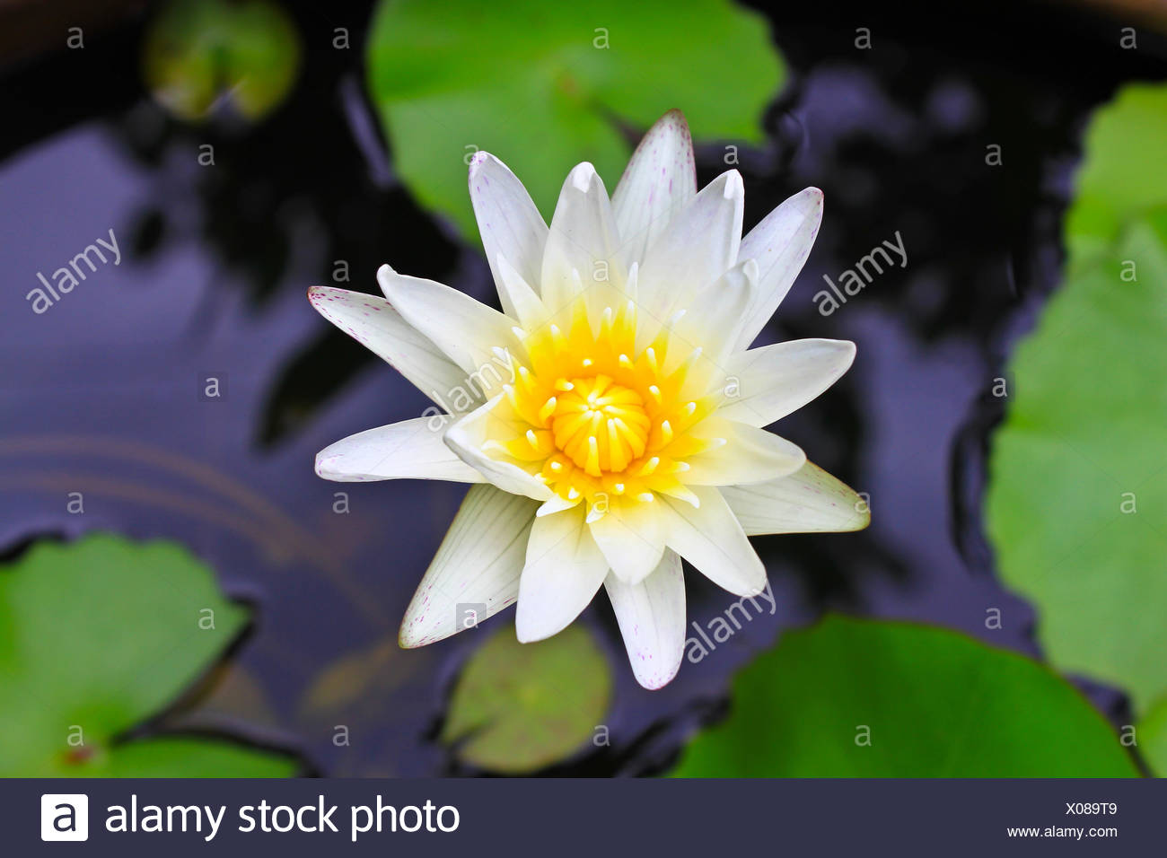 Lotus flower sacred teapot the best tea of 2018 closed and open lotus flowers le wallpapers page 273 pond beauty lotus nelumbo nucifera izmirmasajfo Gallery