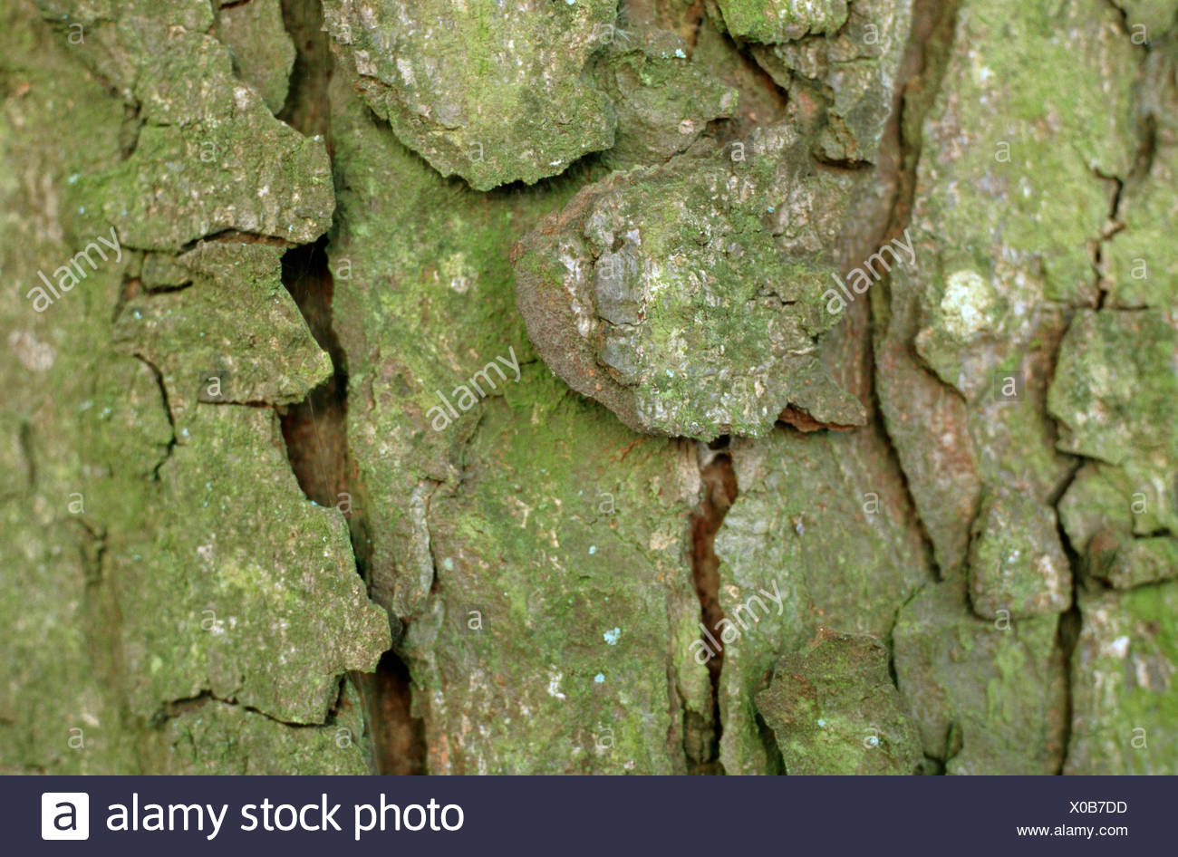 horse chestnut bark stock photos amp horse chestnut bark