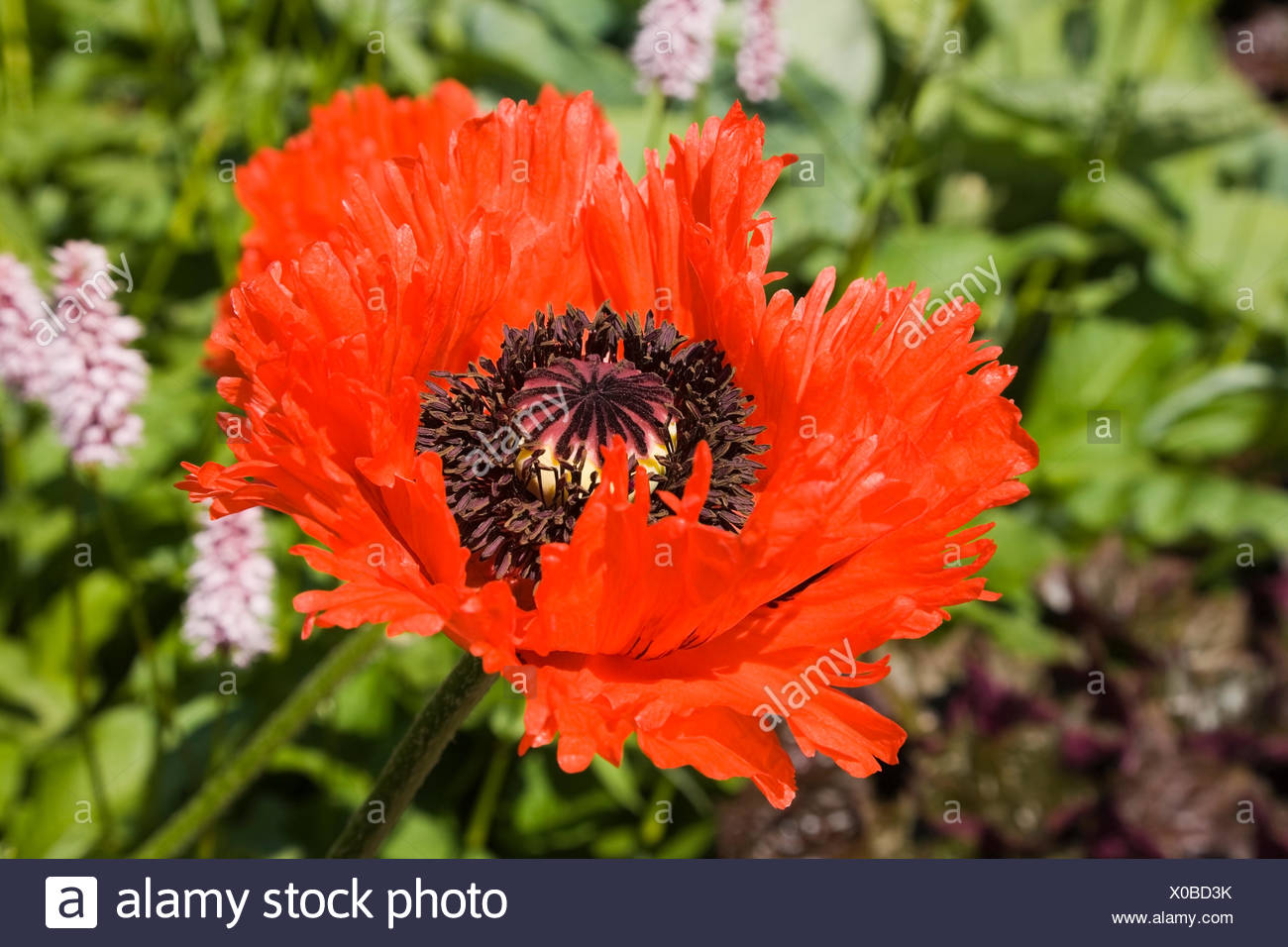 Poppy flower red papaver orientale flamenco dancer papaver pseudo poppy flower red papaver orientale flamenco dancer papaver pseudo orientale canada mightylinksfo