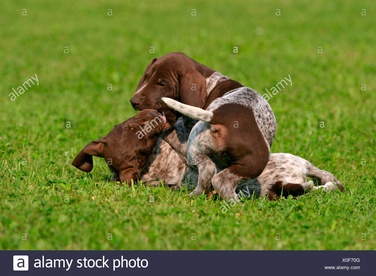 Charmant Wirehaired Pointer Lab Mix Welpen Galerie - Elektrische ...