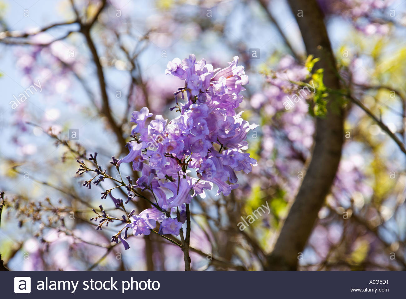 Close Up Of Jacaranda Tree In Blooming With Purple Flowers In