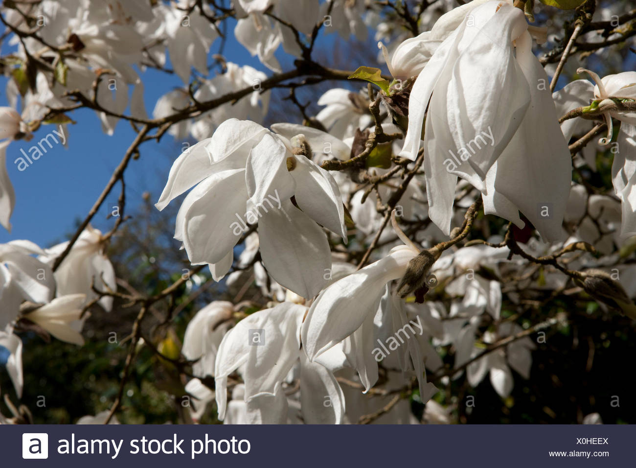 Large white flowers of magnolia david clulow tree at pinetum park large white flowers of magnolia david clulow tree at pinetum park st austell cornwall on a spring day mightylinksfo