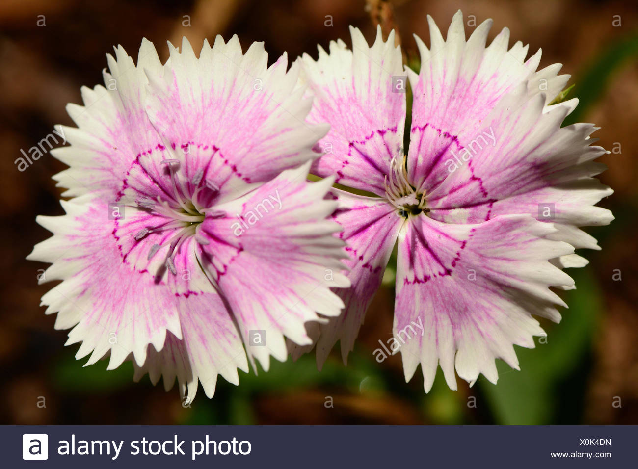 Two Pink Flowers Of The Dianthus Species Stock Photo 275786497 Alamy
